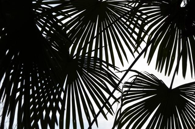 Des palmiers à Londres